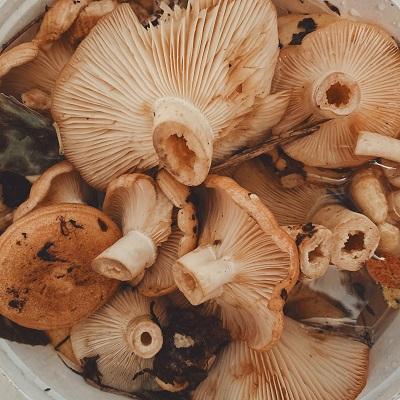 Oesterzwammen paddenstoelen